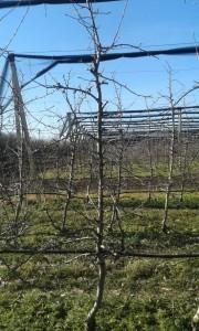 Slika 3. - Orezana sadnica