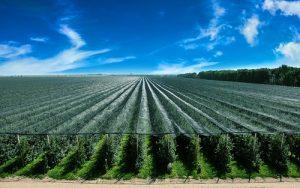 Čelarevo, mesto gde rađaju jabuke