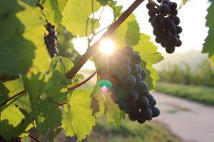 Zaštita vinove loze od bolesti i štetočina