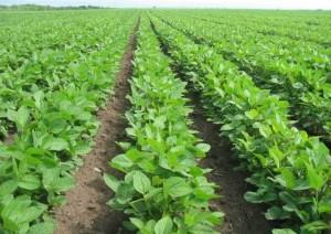Soja – tehnologija proizvodnje