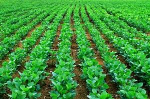 Soja – proizvodnja u svetu i u Srbiji